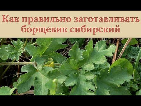 растение борщевик фото
