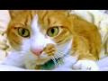 飼い主を大爆笑させる猫#1 ストーカー猫?しゃべるねこ「マック」 鳴き声・おもしろ・笑える猫動画 - Stalking Cat laugh owner. lol. Funny cat Mac!