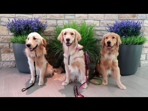 Three Service Dogs Train At the Mall! 🐕 (7/16/17)