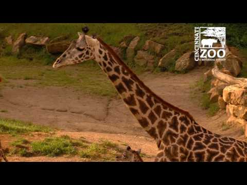 Thumbnail: 2nd Baby Giraffe makes its Debut at the Cincinnati Zoo