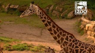 2nd Baby Giraffe makes its Debut at the Cincinnati Zoo
