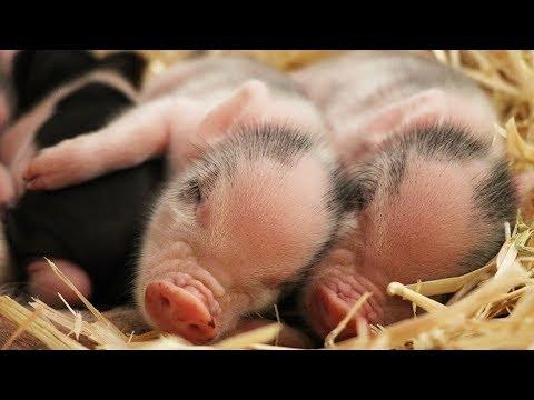 I GOT 2 OF PAUL CUFFARO'S MINI PIGS!!! *New Pets*