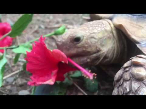 Hawaii Tortoise Eating Hibiscus Flower Youtube