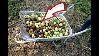 Сделайте это с опавшими яблоками на даче для отличного компоста на следующий год!