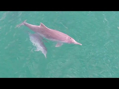 Dolphin & calf playing at Fraser Island, Australia