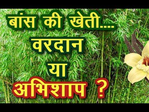 बाँस की खेती कर बने लखपति | बांस की खेती | Bamboo Farming - Good Option To Adopt