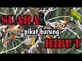 Suara Pikat Burung Ribut Ampuh Untuk Pikat Segala Jenis Burung  Mp3 - Mp4 Download