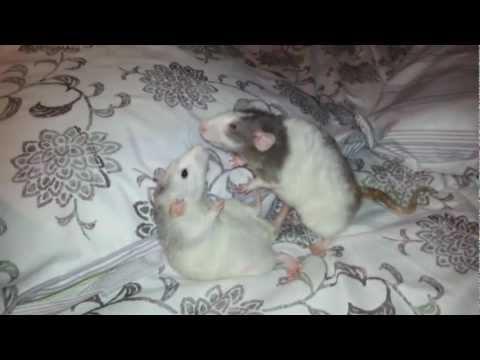 Rat dominance play--First Deni, now Edgar