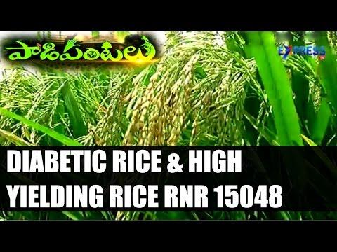 DIABETIC RICE & High Yielding Rice variety RNR 15048 Developed by Rajendranagar ARI : Paadi Pantalu