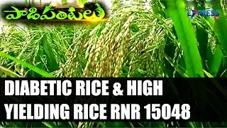 DIABETIC RICE & High Yielding Rice variety RNR 15048 Developed by Rajendranagar ARI : Paadi Pantalu