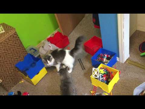 Cats FIGHTING... then immediately stopping (Read description)