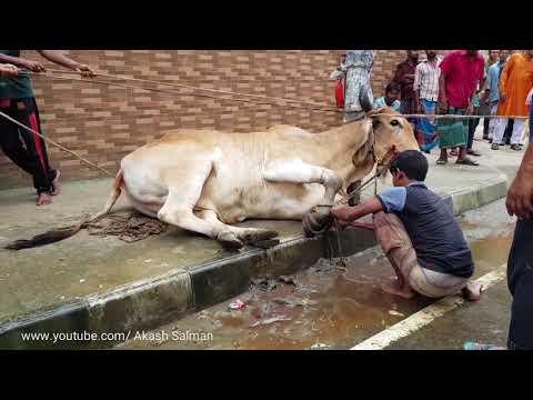 বলদ যদি রাগে তাহলে কে ঠেকায়। Angry big bull Qurbani in Dhaka Bangladesh. Qurbani 2017.