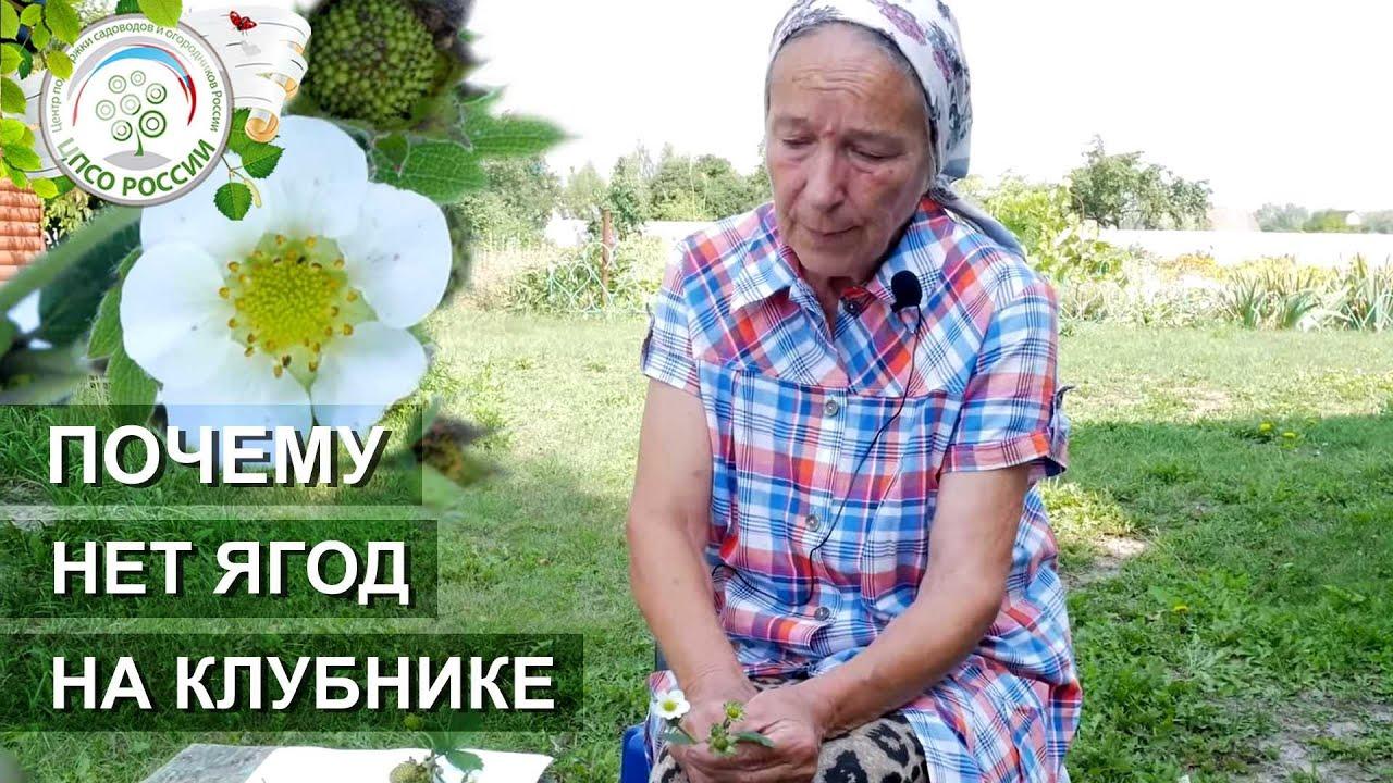 Почему не цветет клубника. Причины отсутствия урожая на землянике садовой.