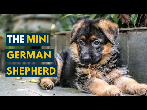 Miniature German Shepherd: 7 Fun Facts You Didn't Know About These Pocket Sized Dogs