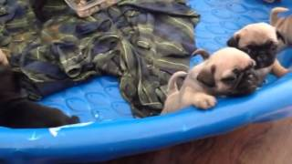 Pug puppies crying