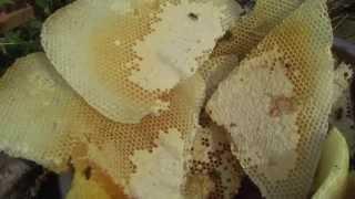 Колодное пчеловодство. Часть 8. Семья трутовка. ПРП Счастливое, Молдова