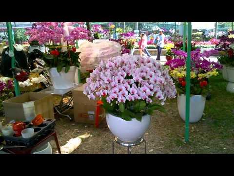 chau hoa lan ho diep 33 canh tai cv 23-9