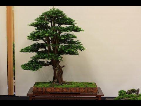 Taxus baccata 'English Yew Bonsai'