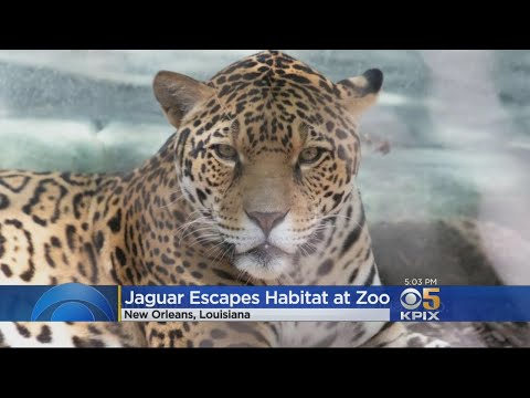 Several Animals Killed After Jaguar Escapes New Orleans Zoo
