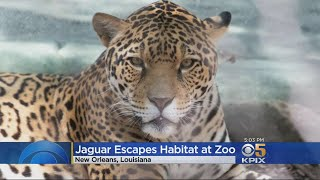 Several Animals Killed After Jaguar Escapes New Orleans Zoo