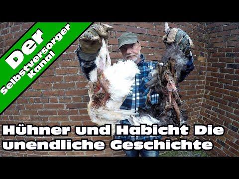 Hühner und Habicht, die unendliche Geschichte.