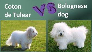 Coton de Tulear VS Bolognese dog  Breed Comparison  Bolognese dog and Coton de Tulear Differences