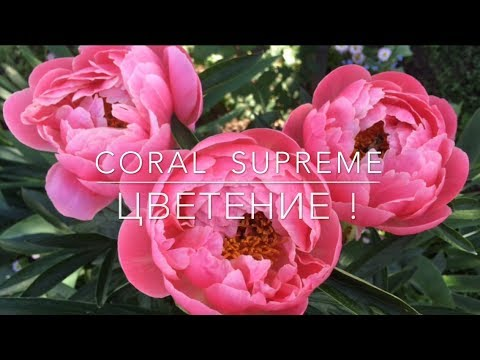 "Ранний Пион "" Coral Supreme "" ( Корал Сьюприм ) / Цветение"