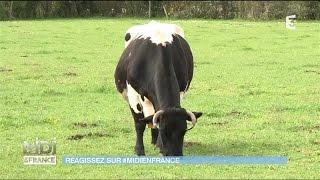 En Gironde, la vache bordelaise est préservée