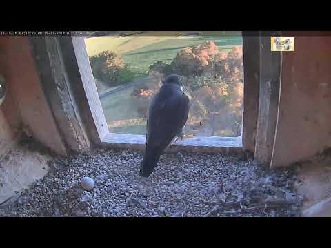 15th evening, Di has a yack, distant flyby at end ~ Peregrine Falcon,  CSU, NSW