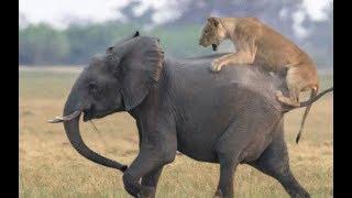 Animals attack! Lions vs Hyenas Fights! Lions attack Elephant! Hippo vs Crocodile
