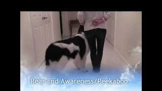 Landseer Newfoundland Dog Tricks 1 - Mishka