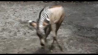 Cute cheerful zebra baby .かわいい元気なシマウマの赤ちゃん。 Tama Z...