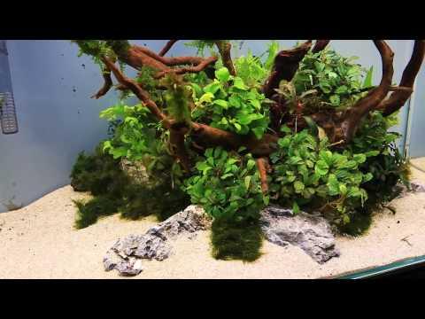 how-to:-aquascaping-a-uns-60u-bucephalandra-nature-style---'the-centerpiece'
