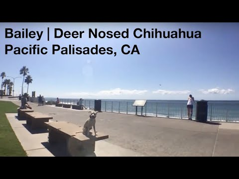 Bailey | Deer Nosed Chihuahua |Pacific Palisades, CA