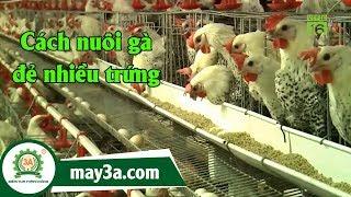Cách nuôi gà đẻ nhiều trứng - mô hình nuôi gà đẻ trứng