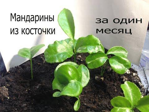Мандарин из семян-косточки.От семени до 8см всходов за один месяц.
