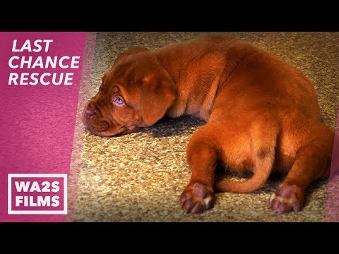 Birth Defect Puppy Poops Everywhere Has Life Saved! LAST CHANCE RESCUE Stories From The Devoted Barn