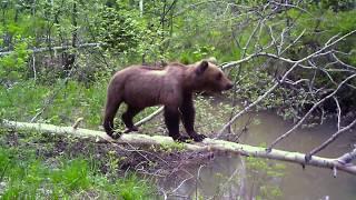 Нападение) медведя