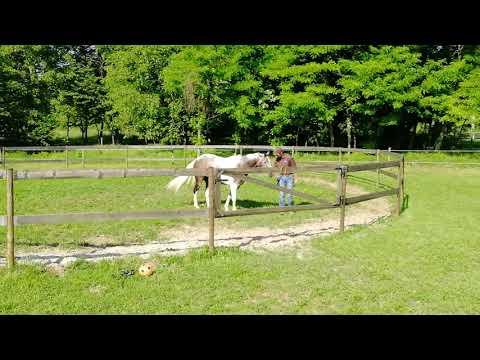 Tondino Per Cavalli.Lavoro Del Cavallo In Tondino Attirare Il Cavallo Verso Di