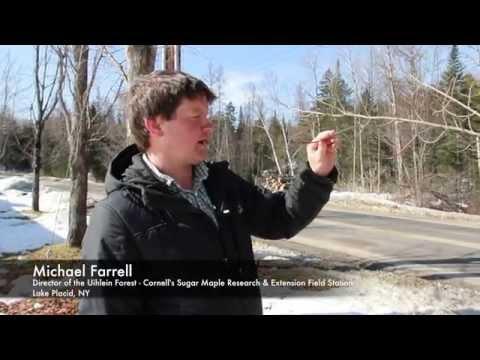 Identifying a Maple Tree