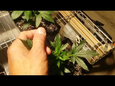Roots organic and Advanced Nutrients Side by Side grow