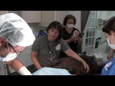 Sabre the Black Leopard Tumor Removal