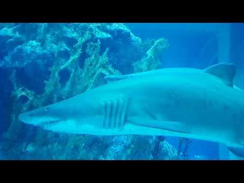 القرش الببري الرملي أكواريوم دبي Sand Tiger Shark at Dubai Aquarium