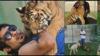 Koweït : un tigre comme animal de compagnie ! - Reportage exclusif 2016