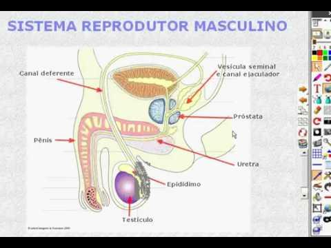 qual a funcao do sistema reprodutor masculino e feminino pdf