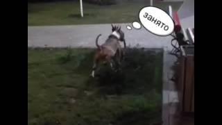 Бультерьер Ярс знакомится с доберманом Ивой. SUGARUS