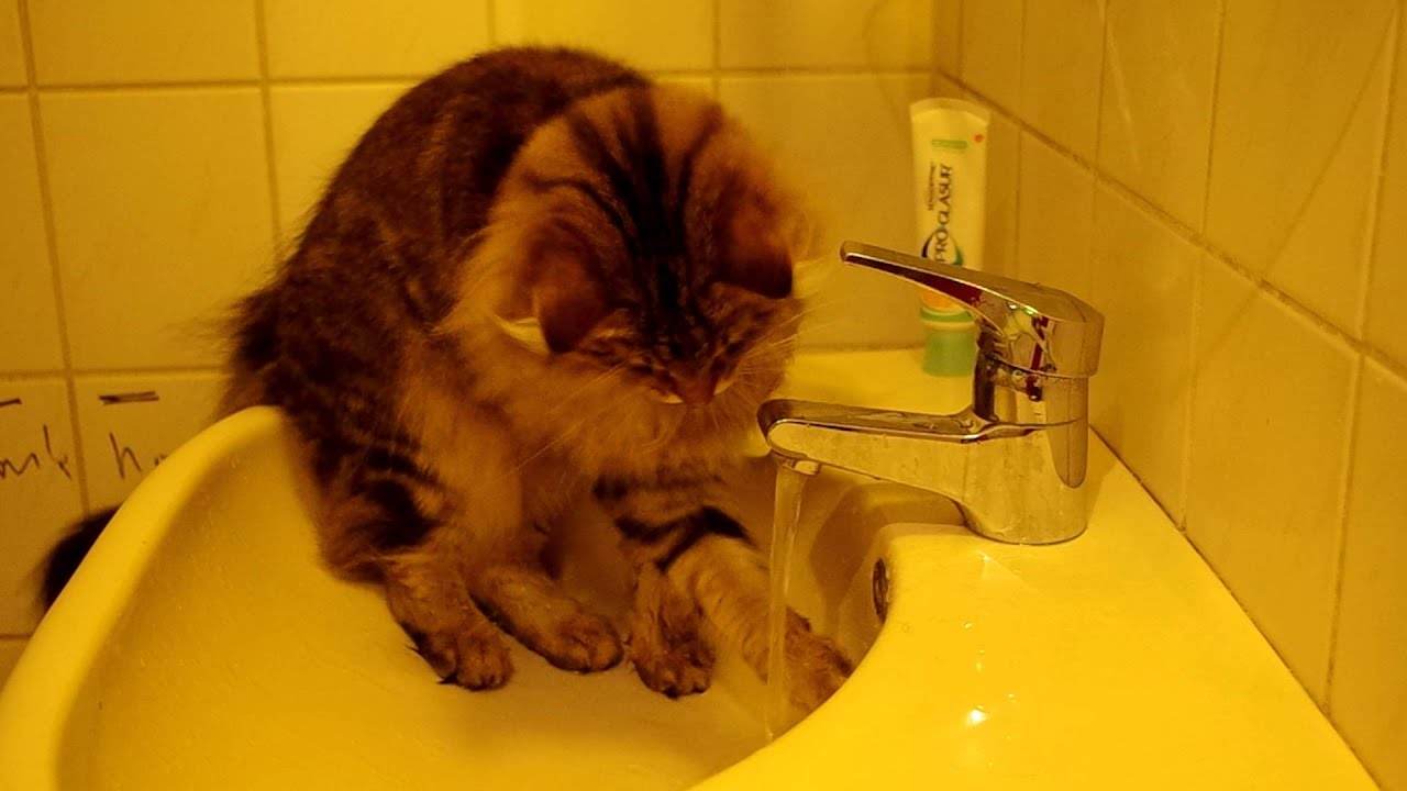 9 Cat Breeds That Enjoy Water | Traveling With Your Cat