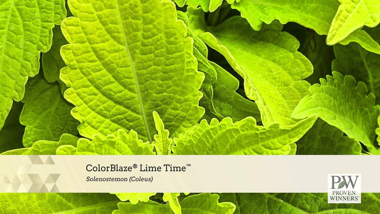 Colorblaze Lime Time Coleus Solenostemon Scutellarioides