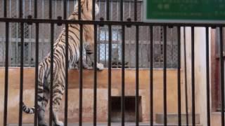 飼育員さんに訴えるアムールトラの「シズカ」- 多摩動物公園 ~ Amur Tiger