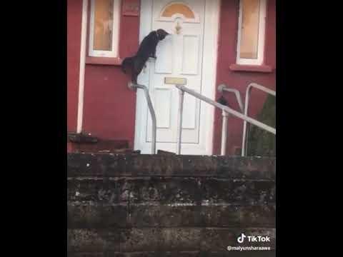 Cat knocks on Door Cat rings doorbell Cats are the Best